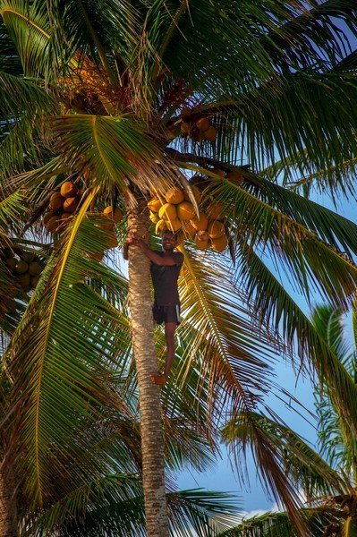 picking coconut in sri lanka