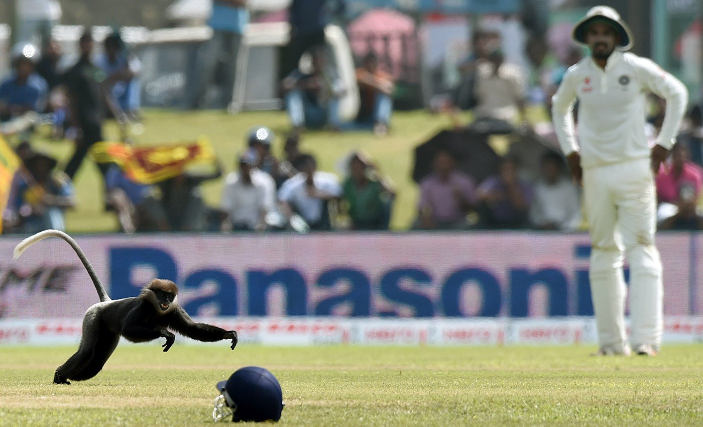 Sri Lankan monkey grabbing cricket helmet